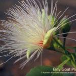 Billy goat - Manuela Chambeyron - Fleurs du bush