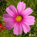Cosmos - Manuela Chambeyron - Fleurs Deva