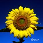 Tournesol - Manuela Chambeyron - Fleurs Deva