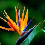 Oiseau de paradis - Elixirs andins